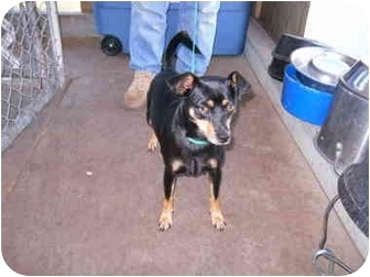 Manchester Terrier Mix Dog for adoption in Stockton, Missouri - Freddie