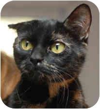 Domestic Shorthair Cat for adoption in Milton, Massachusetts - Kiwi