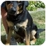 Photo 1 - Rottweiler/German Shepherd Dog Mix Dog for adoption in North Judson, Indiana - Curtis