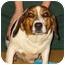 Photo 1 - Beagle Mix Dog for adoption in New Carlisle, Indiana - Hillary