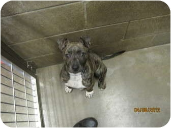 Catahoula Leopard Dog Mix Puppy for adoption in Collinsville, Oklahoma - Buster