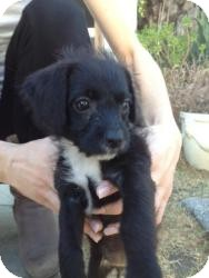 Terrier (Unknown Type, Small)/Poodle (Miniature) Mix Puppy for adoption in Encino, California - Badger