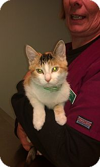 Domestic Shorthair Kitten for adoption in New London, Wisconsin - Ally Cat