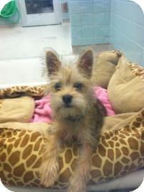 Miniature Schnauzer/Pomeranian Mix Puppy for adoption in Columbus, Georgia - Rocky 1928