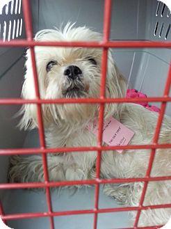 Shih Tzu Mix Dog for adoption in Orland Park, Illinois - Blondie