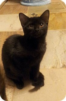 Domestic Shorthair Kitten for adoption in Chandler, Arizona - Lilo