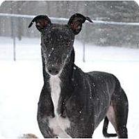Adopt A Pet :: Bull (TK Bulls Eye) - Chagrin Falls, OH