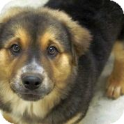 Australian Shepherd/Great Pyrenees Mix Puppy for adoption in Austin, Texas - Moe-Bear