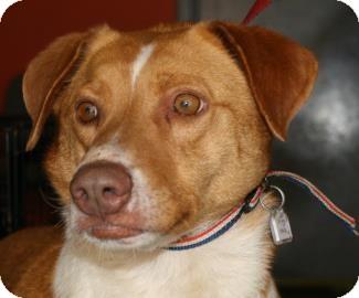 Labrador Retriever Mix Dog for adoption in Brooklyn, New York - Ringo