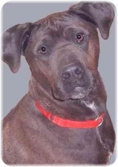 Pointer/Labrador Retriever Mix Dog for adoption in Grass Valley, California - Kale
