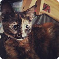 Adopt A Pet :: Patchez - Chicago, IL