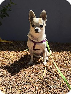 Chihuahua Mix Dog for adoption in Chandler, Arizona - Sookie