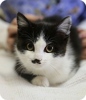 Domestic Shorthair Kitten for adoption in Bowie, Maryland - Adopted! Charley