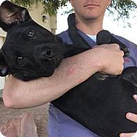 Adopt A Pet :: Tye - Las Vegas, NV