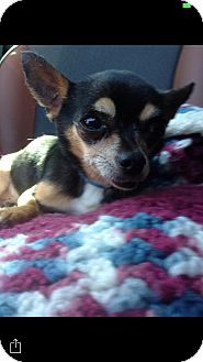 Chihuahua Mix Dog for adoption in Las Vegas, Nevada - Rexy