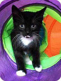 Domestic Shorthair Kitten for adoption in Burlington, North Carolina - Yoda