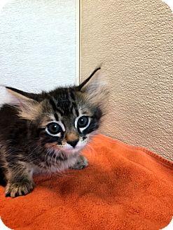 Domestic Mediumhair Kitten for adoption in Las Vegas, Nevada - Tabitha