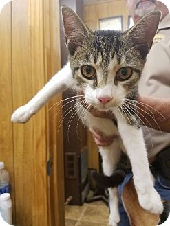 American Shorthair Cat for adoption in Shelbyville, Tennessee - Feathers