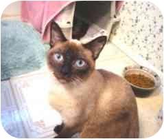 Siamese Cat for adoption in Oak Park, California - Abigail
