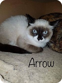 Siamese Cat for adoption in Irwin, Pennsylvania - Arrow
