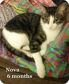 Domestic Shorthair Cat for adoption in Bentonville, Arkansas - Nova