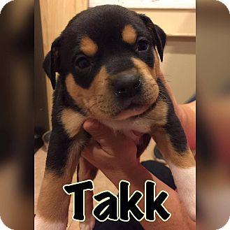 Pit Bull Terrier Mix Puppy for adoption in Smithtown, New York - Takk