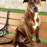 Adopt A Pet :: Ginger Stunning Pit Sweetie - Corona, CA