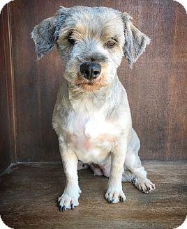 Schnauzer (Standard)/Lhasa Apso Mix Dog for adoption in Fredericksburg, Texas - LooLoo