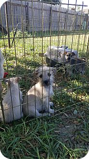 Schnauzer (Miniature)/Terrier (Unknown Type, Small) Mix Puppy for adoption in Brownsville, Texas - Donovan