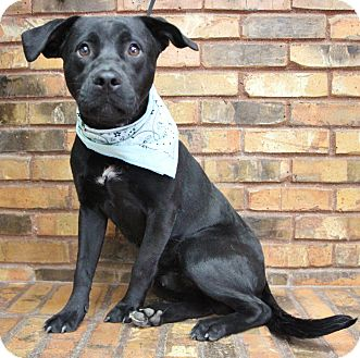 Retriever (Unknown Type) Mix Dog for adoption in Benbrook, Texas - Bernard