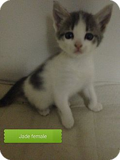 Domestic Shorthair Kitten for adoption in Maryville, Illinois - Jade