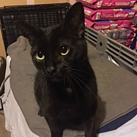 Adopt A Pet :: Pickles - O'Fallon, MO