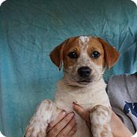 Adopt A Pet :: Gizmo - Oviedo, FL