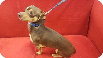 Chihuahua/Dachshund Mix Dog for adoption in Valencia, California - Chito