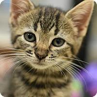 American Shorthair Kitten for adoption in Aiken, South Carolina - Toph