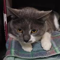 Domestic Shorthair/Domestic Shorthair Mix Cat for adoption in Erie, Pennsylvania - Diamond