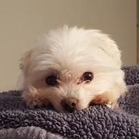 Adopt A Pet :: Maci - Delaware, OH