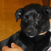 Adopt A Pet :: Nox - Whiting, IN