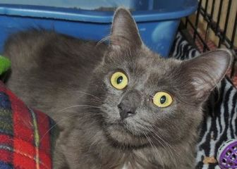 Domestic Longhair/Domestic Shorthair Mix Cat for adoption in Westville, Indiana - Willow