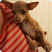 Adopt A Pet :: Olivia - Rosemead, CA