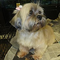 Lhasa Apso Dog for adoption in Moreno Valley, California - Bonnie