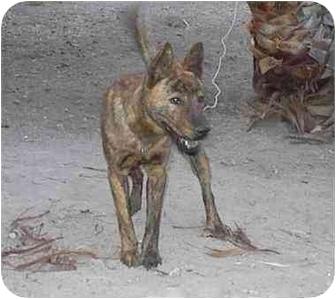 Basenji/Jindo Mix Dog for adoption in Southern California, California - Hotori