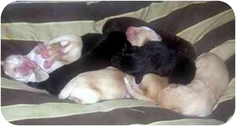 Labrador Retriever Mix Puppy for adoption in Upper Marlboro, Maryland - KISSES BABIES