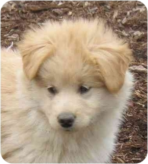 Collie/Golden Retriever Mix Puppy for adoption in Pittsboro/Durham, North Carolina - Duffy