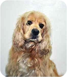 Cocker Spaniel Dog for adoption in Port Washington, New York - Shay