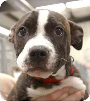 Pit Bull Terrier Mix Puppy for adoption in Phoenix, Oregon - Rosco