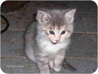 Domestic Shorthair Kitten for adoption in Toronto, Ontario - Cleo