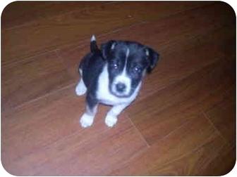 Catahoula Leopard Dog/German Shepherd Dog Mix Puppy for adoption in Wauseon, Ohio - Dora