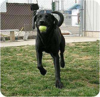 Labrador Retriever Mix Dog for adoption in Meridian, Idaho - Victor