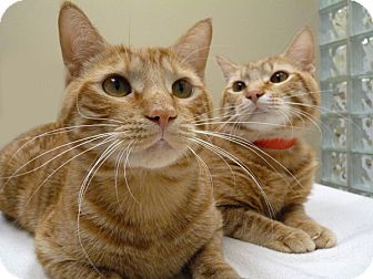 Domestic Shorthair Cat for adoption in Chicago, Illinois - Chili & Mac